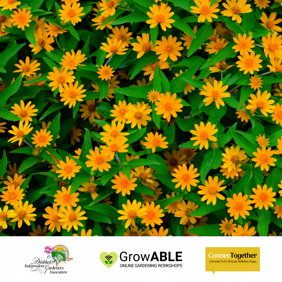 Patch of bright yellow flowers and green leaves. (Disabled Independent Gardeners Association logo. GrowAble logo. ConnecTra logo.).